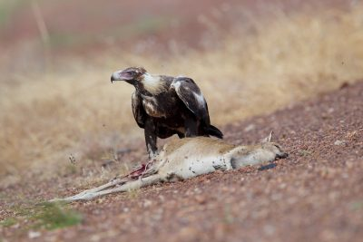 Wedge-tailed Eagle - Eating Agile Wallaby (Aquila audax audax) - Katherine, NT (3)