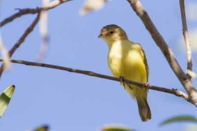 Weebill (Smicrornis brevirostris flavescens) - Darwin, NT