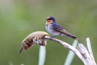 Welcome Swallow (Hirundo neoxena neoxena) - Tasmania