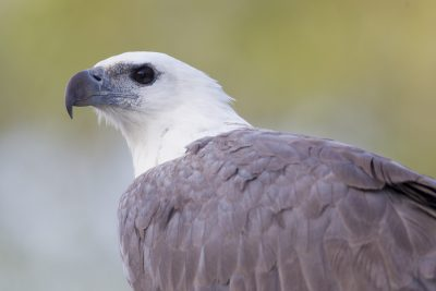 White-bellied Sea Eagle - Profile (Haliaeetus leucogaster) - Mary River, NT