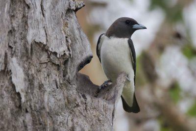 White-breasted Woodswallow (Artamus leucorynchus leucopygialis) - Marrakai Track, NT