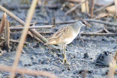 White-browed Crake (Amaurornis cinerea) - Fogg Dam, NT