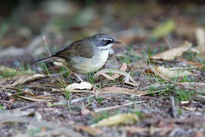 White-browed Scrubwren- Male (Sericornis frontalis) - Lammington National Park, QLD
