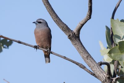 White-browed Woodswallow - Female (Artamus superciliosus) - Barkley Highway, NT