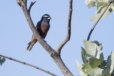 White-browed Woodswallow - Male (Artamus superciliosus) - Barkley Highway, NT