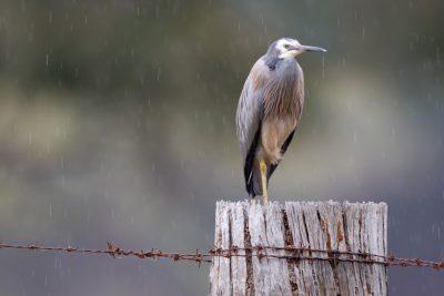 White-faced Heron - (Egretta novaehollandiae) - Tasmania