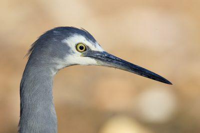 White-faced Heron - Profile (Egretta novaehollandiae) - Katherine, NT