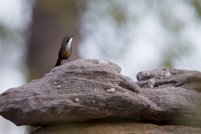 White-throated Grasswren (Amytornis woodwardi) - Arnhemland, NT (3)