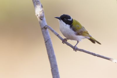 White-throated Honeyeater (Melithreptus albogularis albogularis) - Edith Falls, NT (2)