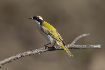 White-throated Honeyeater (Melithreptus albogularis albogularis) - Edith Falls, NT (3)