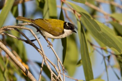 White-throated Honeyeater (Melithreptus albogularis albogularis) - Edith Falls, NT