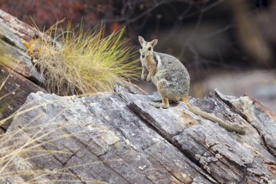 Wilkins Rock Wallaby