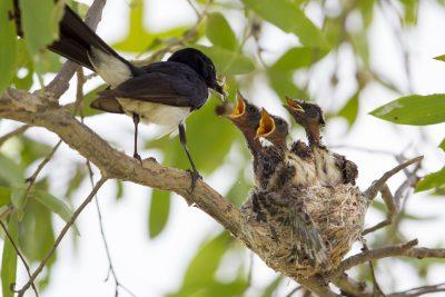 Willie Wagtail - Adult feeding Babies (Rhipidura leucophrys picata) - Darwin, NT