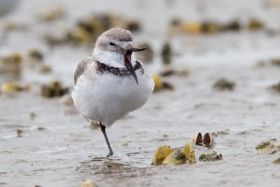 Wrybill - Northland, New Zealand