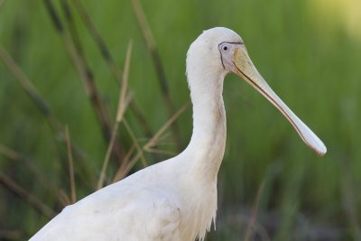 Yellow-billed Spoonbill (Platalea flavipes) - Jabiru, NT