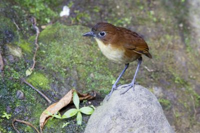 Yellow-breasted Antpitta - Paz De Aves (Ant Hill Pass), Ecuador.