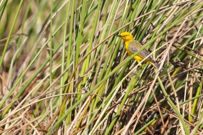 Yellow Chat (Epthianura crocea tunneyi) - South Alligator, NT