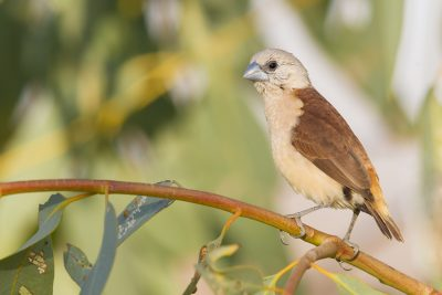 Yellow-rumped Mannikin - Juvenile (Lonchura flaviprymna) - Keep River NP, NT