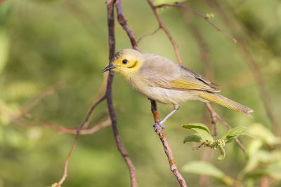 Yellow-tinted Honeyeater (Lichenostomus flavescens flavescens) - Three-ways, NT (2)