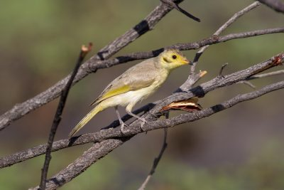 Yellow-tinted Honeyeater (Lichenostomus flavescens flavescens) - Three-ways, NT