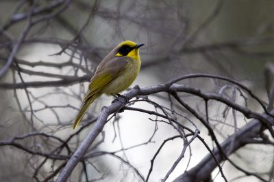 Yellow-tufted Honeyeater (Lichenostomus melanops) - Grampians, VIC
