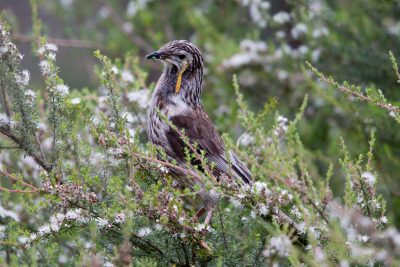 Yellow Wattlebird (Anthochaera paradoxa paradoxa) - Tasmania