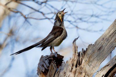 Yellow Wattlebird - Calling (Anthochaera paradoxa paradoxa) - Tasmania