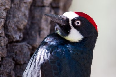 Acorn Woodpecker (Profile)