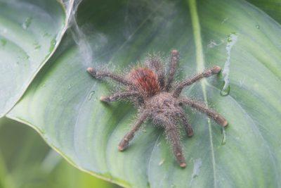Amazon Tarantula - Jatun Sasha, Ecuador