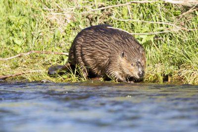 American Beaver