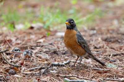 American Robin1