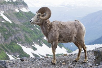 Big Horn Sheep (Massive Ram) - Glacier National Park, Montana