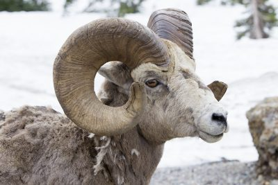 Big Horn Sheep (Ram Profile1) - Glacier National Park, Montana