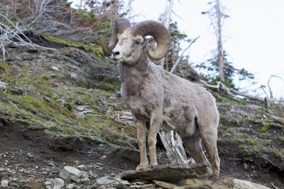 Big Horn Sheep (Ram1) - Glacier National Park, Montana