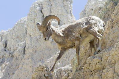 Big Horn Sheep (Young Ram) - Bad Lands National Park, South Dakota