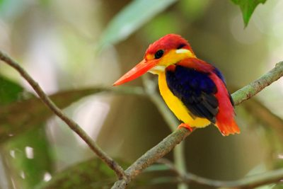 Black Backed Kingfisher - Kinabatangan River (2)