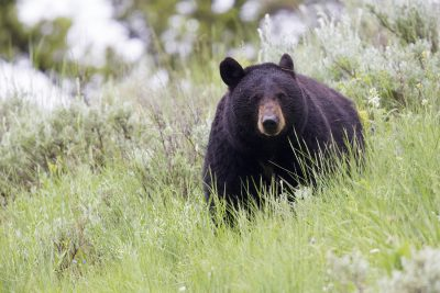 Black Bear Stare1 - Yellowstone National Park, Wyoming