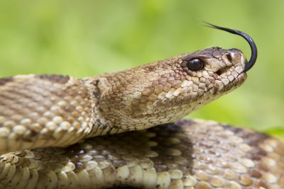 Black-tailed Rattlesnake (Head Shot)