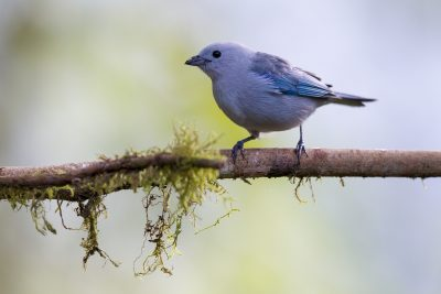 Blue-grey Tanager (Choco) - Tandayapa Lodge, Ecuador.
