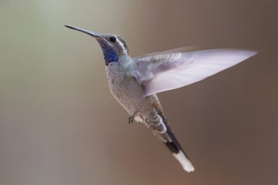 Blue-throated Hummingbird (Flying)