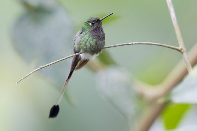 Booted Racket-tail (Male Perching) - Tandayapa Lodge, Ecuador