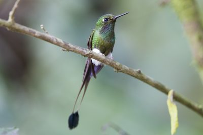Booted Racket-tail (Male) - Tandayapa Lodge, Ecuador.