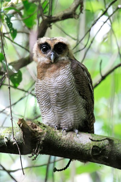 Brown Wood Owl - Kinabatangan River
