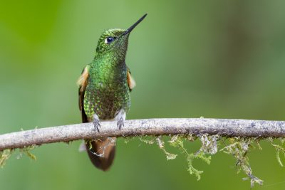 Buff-tailed Coronet - Tandayapa Lodge, Ecuador