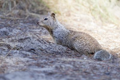 California Ground Squirrel2