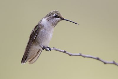 Calliope Hummingbird (Female)