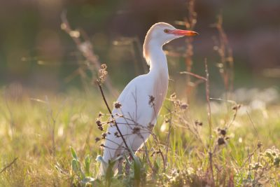 Cattle Egret (Sunset)