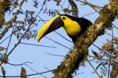 Chestnut-mandibled Toucan - Milpe, Ecuador.