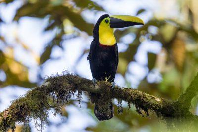 Choco Toucan - Milpe, Ecuador1