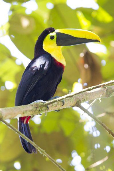 Choco Toucan (Profile) - Milpe, Ecuador